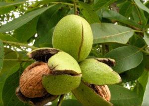 Лопнувший грецкий орех на дереве