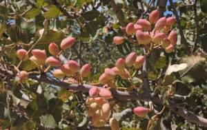 Фисташковое дерево цветет