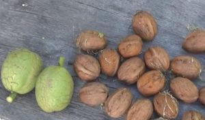 Зеленые и спелые грецкие орехи на столе