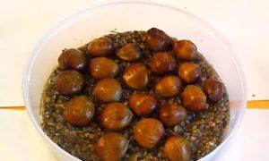 Орехи медвежей лещины в горшке