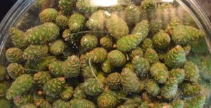 Зеленые шишки