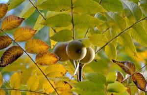 Чёрный орех на дереве