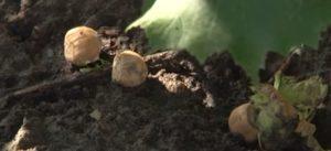 Орехи лещины на земле