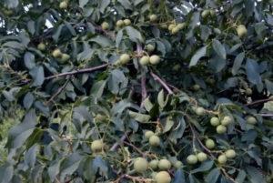 Дерево с грецкими орехами