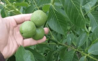 Через сколько лет плодоносит грецкий орех