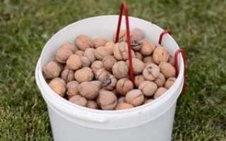 Когда собирают грецкие орехи