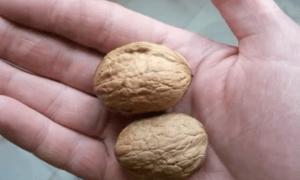 Сорт грецкого ореха идеал