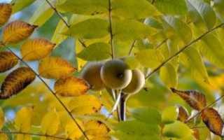 Польза листьев чёрного ореха