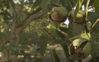 Чилийский грецкий орех