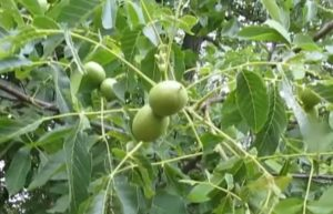 дерево грецкого ореха с зелеными орехами