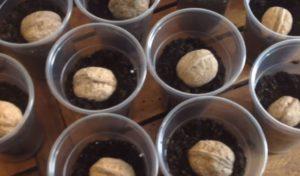 Грецкие орехи проращиваются в стакане