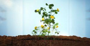 Цветущий арахис