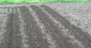 Как выращивать арахис в домашних условиях на даче?