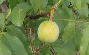 Грецкий орех на дереве