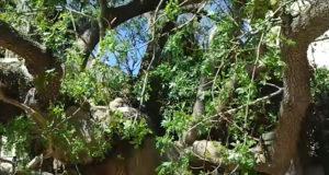 Дерево фисташки-ветки
