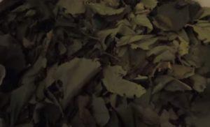 Листья лещины сухие