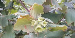 Зеленые плоды лещины