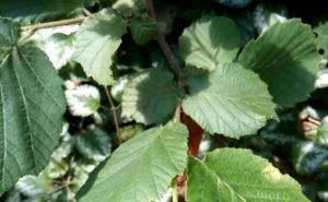 Листья фундука на ветке