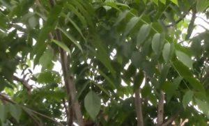 Часть дерева ореха