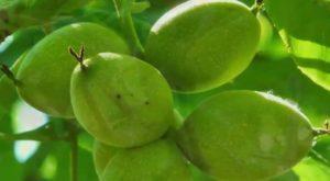 Маньчжурский орех растет