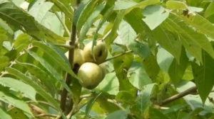 Орехи на ветке
