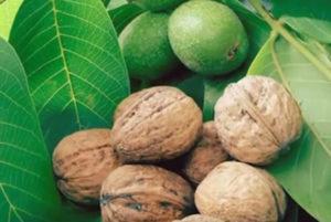 Грецкие орехи на листе