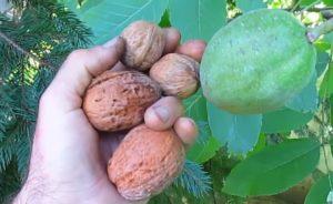 грецкие орехи в руке
