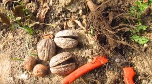 Саженец и орехи на земле