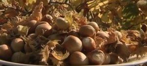 Осенние лесные орешки