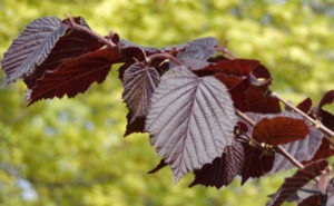 листья фундука пурпурного